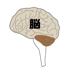 脳図.png